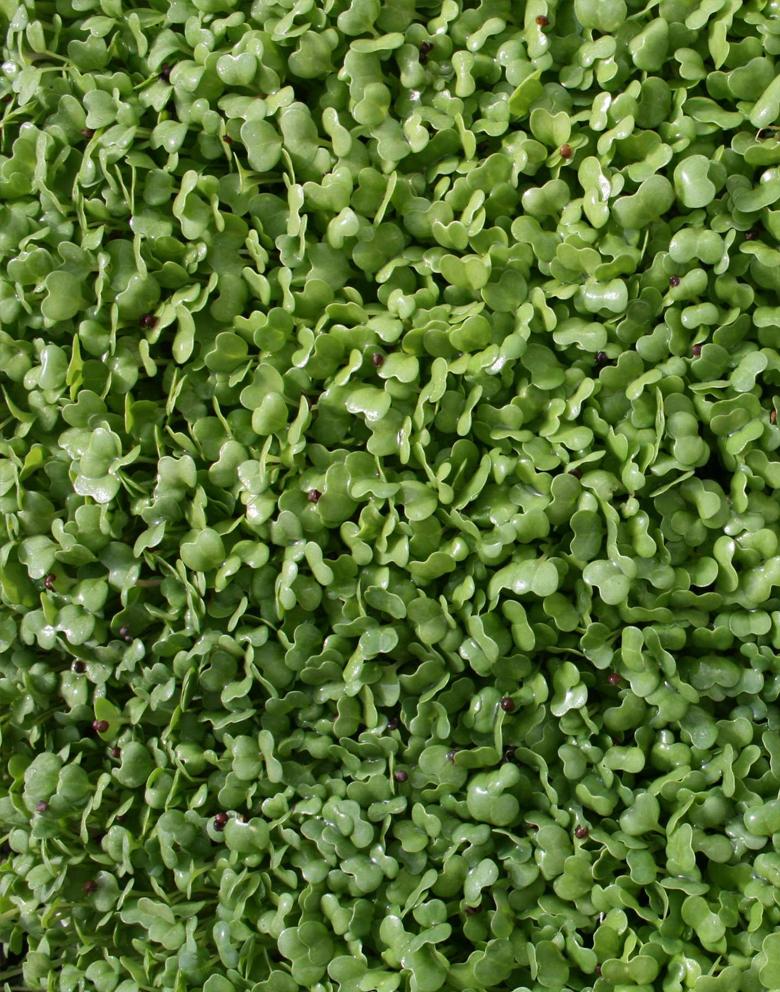 broccoli_midden